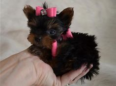 teacup yorkie puppies for sale in ohio | Zoe Fans Blog
