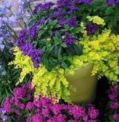 Ignore the pinks outside the pot. Lime green a purple again. The lime green Creeping Jenny is an evergreen. Will look like that year round.