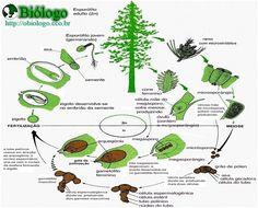 Gimnospermas - Biologia