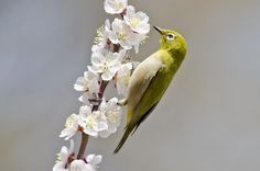 https://flic.kr/p/FxuoCV | Plum blossom & White-eye