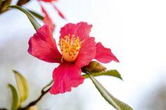 Camellia sasanqua 'Crimson King'. Photo Jason Ingram
