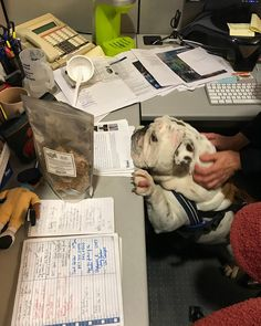 Bulldog spotting a snack on the desk. English Bulldog Puppies, French Bulldog, English Bulldogs, Funny Bulldog Pictures, Cute Friends, Bullying, Pugs, Dog Breeds, Your Dog