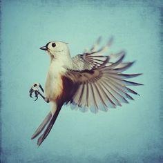Bird photo  Tufted Titmouse  8x8 flying bird photo by elgarboart, $30.00