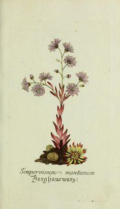 Sempervivum montanum. Plantarum indigenarum (..) 1778.