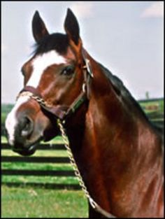 Nureyev - 1977 Thoroughbred Stallion. The Sport Horse Show and Breed Database
