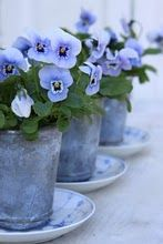 potted blue pansies