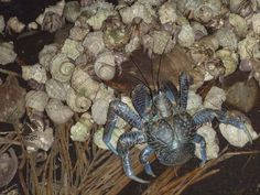 A robber crab (Birgus latro) fighting over a coconut against a herd of hermit crabs. Click photo to learn about this land-dwelling tropical giant that can tear up coconuts with its claws. (Photo by Stacie Hathaway/USGS WERC) Coconut Crab, Hermit Crabs, Coconuts, Click Photo, Claws, Creatures, Tropical