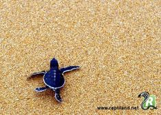Une petite tortue de mer qui vient de naître et qui rejoint la mer. En espérant qu'elle ne rencontre pas de prédateurs...