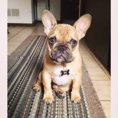 French Bulldog Puppy, via Batpig & Me Tumble It.