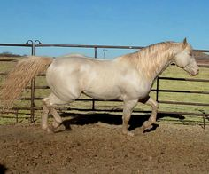 Bedonna's Performance Horses: Smokey Creme Roan. Interesting. Roan hardly expresses on a double dilute it seems.