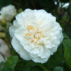 """""""Sombreuil' - repeat flowering climbing rose. Available from David Austin."""