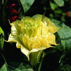 Bieluń - Datura metel Angel Trumpet, Seed Germination, Climbing Vines, Seed Pods, Lemon Yellow, Garden Plants, Shrubs, Flower Power, Perennials