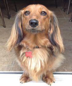 Longhaired dachshund.