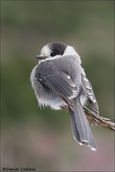 7stripes: Gray Jay by Daniel Cadieux