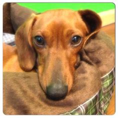 Chloe. Super cute dachshund female available for adoption with Furever Dachshund Rescue.