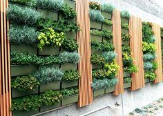 Herb Walls in San Diego. Herbs are an amazing group of plants. Both ornamental and edible they can add beauty, scent, color and texture to gardens, planter and even live walls. That's right, live walls! Greenleaf IPS 858-488-0611 greenleafips.com #livingwalls #livewalls #verticalgardens