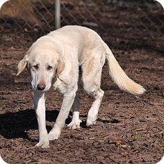 Temple, GA - Labrador Retriever Mix. Meet Haylie, a dog for adoption. http://www.adoptapet.com/pet/12063104-temple-georgia-labrador-retriever-mix