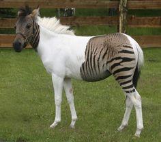 Connaissez-vous les zébroïdes, hybrides zèbre/cheval ?  Voici Eclyse, petit zébrule né en 2007.