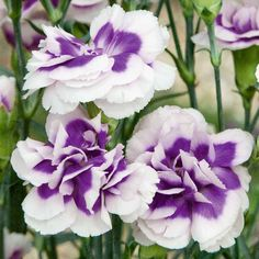 Dianthus 'Blueberry Cream' produces masses of double, ice white flowers with the purple-blue centres, above mounds of evergreen foliage. The richly fragrant blooms are perfect for cutting for a vase indoors.