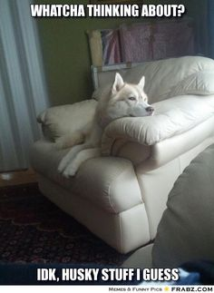 This funny Husky meme blends in to the rest because he's pretty much white on white or cream or whatever.