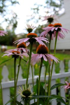 Cone Flowers in my Garden