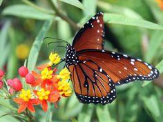 Pérdida de hábitat amenaza a mariposas monarca.La pérdida de hábitat en el centro-norte de Estados Unidos ha preocupado a muchos que se preguntan si los lepidópteros están en condiciones de hacer el trayecto anual de 3,200 kilómetros (2,000 millas) a México.
