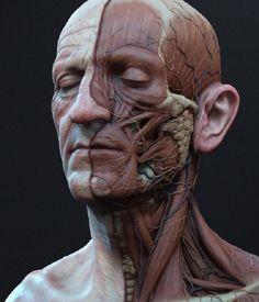 New Art Reference Poses Men Human Anatomy Ideas Facial Anatomy, Head Anatomy, Anatomy Poses, Body Anatomy, Anatomy Study, Anatomy Drawing, Face Muscles Anatomy, Human Muscle Anatomy, Zbrush Anatomy