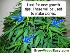 This picture shows you which parts of the plants you should use to take marijuana clones. View entire picture tutorial here: http://growweedeasy.com/complete-guide-cloning-marijuana