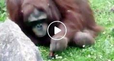 Orangotango Salva Pássaro Que Ficou Preso Na Água