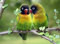 birds | Lovebirds are a small, stocky parrot type – among the smallest in ...