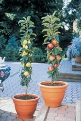 Sentinel Apples: Malus pumila A classic and American tradition in fruit trees. Apples are a delicious, undemanding, and rewarding addition to the edible landscape. Golden Sentinel™ Provides an especially breathtaking display of snow-white flowers in spring. A tower of sweet, firm golden fruit follows the blooms. The versatile apples are wonderful baked, pressed into cider, or enjoyed fresh off the tree. They can be kept well into January. Scarlet Sentinel™ The perfect companion to its Golden…