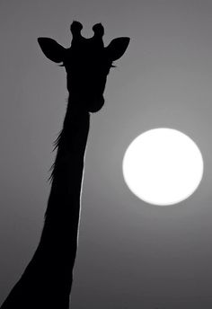 Giraffe silhouette and Moon Beautiful Creatures, Animals Beautiful, Cute Animals, Head In The Clouds, Giraffe Silhouette, Zebras, Black And White Photography, Animal Photography, Animal Kingdom