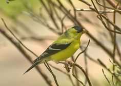 American Goldfinch (Male) Song: http://www.fcps.edu/islandcreekes/ecology/american_goldfinch.htm
