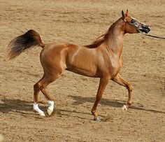 Chestnut Arabian Mare by sedonasong, via Flickr