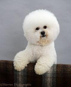 Portrait of Margaret Alice Haircut style, Poodle and