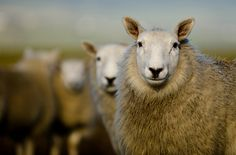 Manx sheep at Scarlett