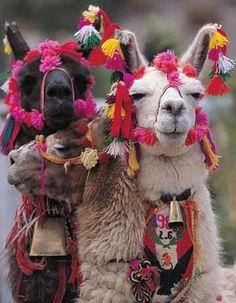 LLAMAS ADORNADAS - llamas. Peru.