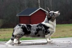 NordJW-06 Mudpaws Duke Silver - Cardigan Welsh Corgi - Wikipedia, the free encyclopedia