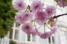 Kisebærtre med nydelige blomstrer, tatt i Bergen by i smauene på Nordnes