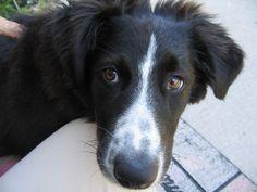 English Shepherd English Shepherd, Dogs, Animals, Animales, Animaux, Pet Dogs, Doggies, Animal, Animais