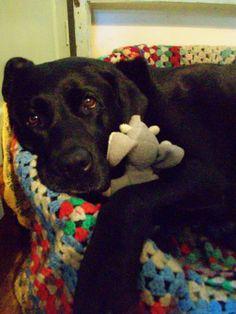 Lulu and her elephant #dog#labrador#pet