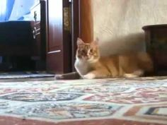 Cat walks on two legs...I don't know why I cannot stop watching this video.