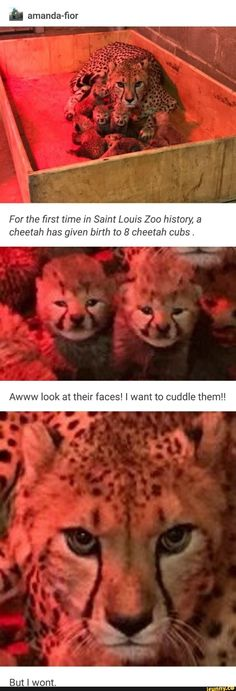 Picture memes 2 comments — iFunny a amanda-fior For the first time in Saint Louis Zoo history, a cheetah has given birth to 8 cheetah cubs. Awww look at their faces! I want to cuddle them! – popular memes on the site Animal Jokes, Funny Animal Memes, Cute Funny Animals, Funny Animal Pictures, Cute Baby Animals, Cat Memes, Funny Cute, Cute Cats, Funny Memes