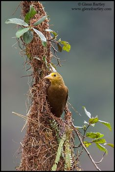 Russet-backed Oropendola - Glenn Bartley Nature Photography - The Best of 2013