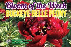 Buckeye Belle Peonies - Bloom of the Week at Golden Plains Greenhouses (Kleefeld, Manitoba) Greenhouses, Perennials, Peonies, Bloom, Garden, Green Houses, Garten, Glass House, Lawn And Garden