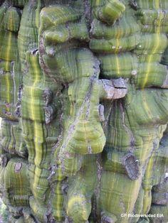 Herbario Virtual - Ceiba verde - Corteza