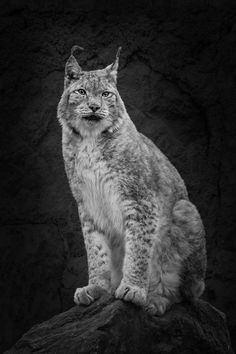Lynx - Lynx sitting on a rock