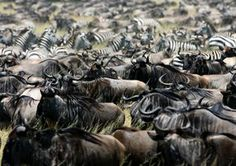 """The survival of the fittest spectacle, the annual Great Migration, has been described as the """"seventh wonder of the modern world. The Great Migration, Seven Wonders, Tanzania, Ocean, World, Animals, Animales, Animaux, The Ocean"""