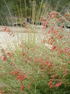 'Hollywood Flame' California Fuchsia with a deer grass behind it. - grid24_6