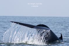 Bryde's whales use several feeding methods, including skimming the surface, lunging, and bubble nets.[